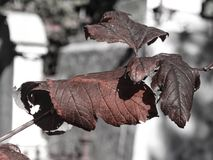Winter leaves in graveyard. Close up of dry, shriveled leaves on winter day in graveyard Stock Images