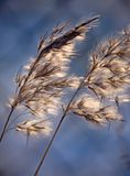Winter light. The fluffy grass photographed against light in winter day, motion blur Stock Photos