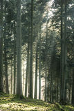 Winter light in the forest Royalty Free Stock Photo