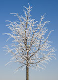 Winter lime tree. Young lime tree under the hoar-frost Royalty Free Stock Images