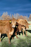 Winter Limousin Cattle. Limousin cattle on California Winter range Stock Image