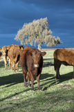 Winter Limousin Cattle Stock Photos