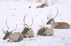 Winter Lineup Of Woodland Caribou Royalty Free Stock Images