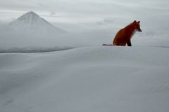 Winter loneliness, the fox life Royalty Free Stock Photos
