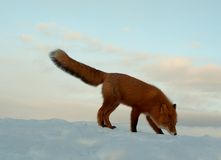 Winter Loneliness, The Fox Life Royalty Free Stock Photo