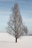 Winter.Lonely birch in the field. Stock Photo