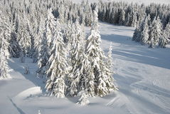 Winter look of fir forest Royalty Free Stock Photos