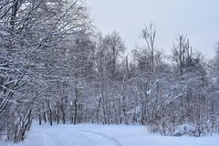 Winter looked into the forest. Downy mittens snow on the branches hung it. White blanket threw on the forest stock photos