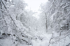 Winter. A lot of snow in the forest on the branches of trees royalty free stock images