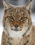 Winter-Luchs Stockfoto