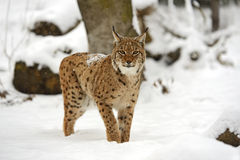 Winter-Luchs Lizenzfreies Stockfoto