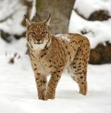 Winter-Luchs Lizenzfreie Stockfotografie
