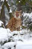 Winter Lynx Royalty Free Stock Images