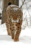 Winter Lynx. Wild Lynx in the winter forest Royalty Free Stock Image