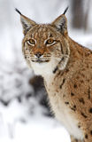 Winter Lynx Royalty Free Stock Image