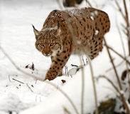 Winter Lynx. Wild Lynx in the winter forest Royalty Free Stock Photos