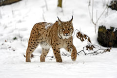 Winter Lynx Royalty Free Stock Photography