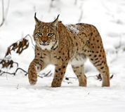 Winter Lynx Royalty Free Stock Photo
