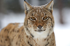 Winter Lynx Stock Images