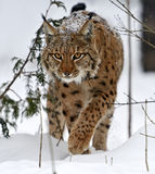 Winter Lynx. Wild Lynx in the winter forest Royalty Free Stock Images
