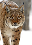 Winter Lynx Stock Image