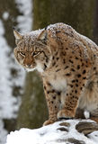 Winter Lynx Stock Photo
