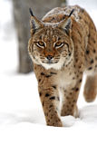 Winter Lynx. Wild Lynx in the winter forest Stock Photography