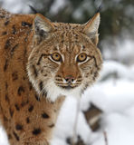 Winter Lynx. Wild Lynx in the winter forest Stock Photo