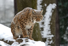 Winter Lynx. Wild Lynx in the winter forest Royalty Free Stock Photography