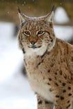 Winter Lynx Stock Photos