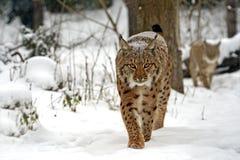 Winter Lynx Royalty Free Stock Photo