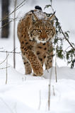 Winter Lynx. Wild Lynx in the winter forest Stock Image