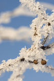 Winter macro. Lime tree branch covered with hoar-frost Royalty Free Stock Photography
