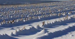 Winter-Mais-Feld Lizenzfreie Stockbilder