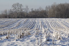 Winter-Mais-Feld nach Ernte Stockfoto