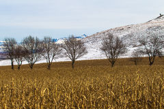 Winter Maize Field Dry Trees Snow. Winter on a maize field in the mountain terrain and bare tree line across horizontal frame of picture. The snow on distant Royalty Free Stock Photos