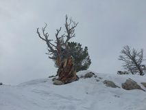 Winter majestic view of ancient desert dead gnarly pine tree, around Wasatch Front Rocky Mountains, Brighton Ski Resort, close to. Salt Lake and Heber Valley Stock Photos