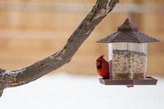 Winter Male Cardinal at Feeder Stock Images