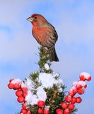Winter Male House Finch Royalty Free Stock Image