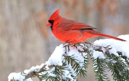 Winter Male Northern Cardinal. A beautiful male Northern Cardinal on a snow covered spruce branch Stock Photography
