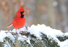 Winter Male Northern Cardinal. A beautiful male Northern Cardinal on a snowy spruce bough Stock Photo