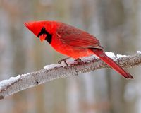 Winter Male Northern Cardinal (Cardinalis cardinalis) Royalty Free Stock Photos