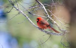 Northern Cardinal bird perched in tree, Georgia, USA. Winter male Northern Cardinal songbird on branch. A bright red common North America bird in the southeast royalty free stock photos