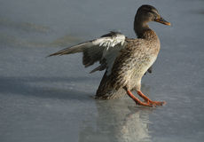 Winter Mallard duck hen. Mallard Duck hen flying and landing on frozen ice of winter lake Royalty Free Stock Image