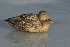Winter Mallard duck hen Stock Photography