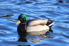 Winter Mallard Duck Stock Images