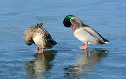 Winter mallard pair of ducks. Mallard duck hen and drake pair of ducks preening feathers while resting on ice of freezing lake on windy winter Stock Photos