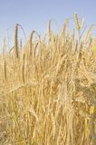 Winter Malting Barley Stock Images