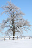 Winter Maple Tree Royalty Free Stock Image