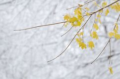 Winter upon Maple Tree stock image